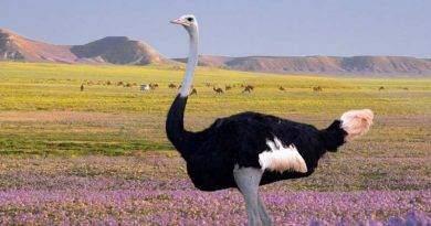 معلومات عن طائر النعام