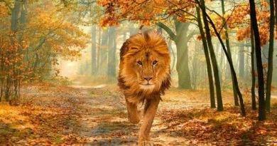 حيوان الأسد الأفريقي