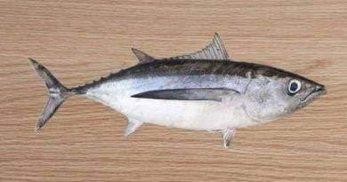 معلومات عن سمك الباكور
