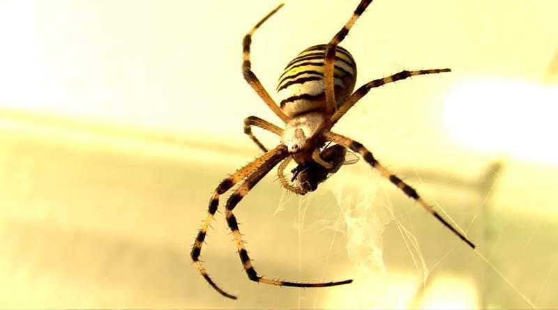 معلومات عن عنكبوت الحديقة الصفراء