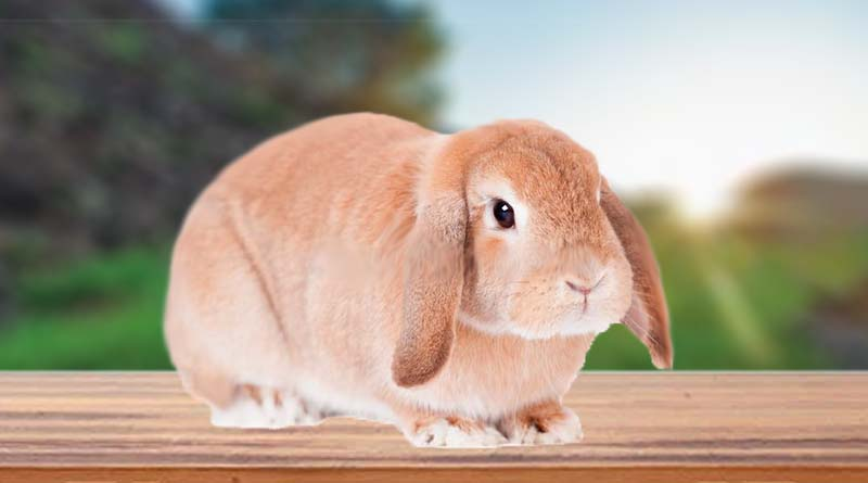 معلومات عن أرنب لوب