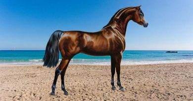 كل شيء عن الحصان العربي وتاريخه