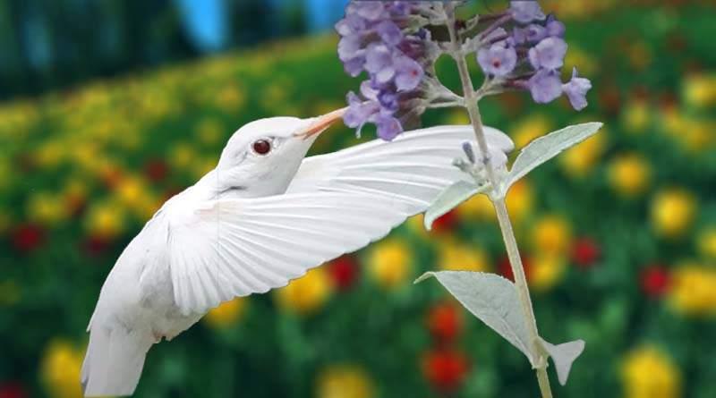 معلومات عن طائر الطنان