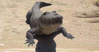 تمساح النيل ، آكل لحوم البشر