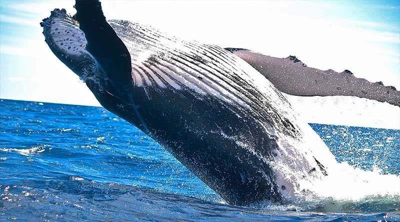 معلومات عن الحوت الأزرق
