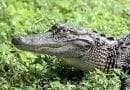 تعرف على التمساح او القاطور الأمريكي