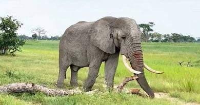 معلومات غريبة عن الفيل