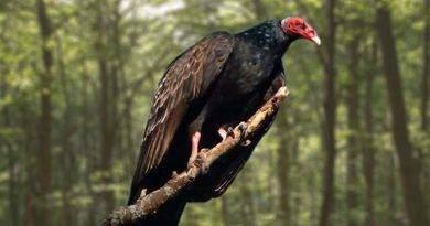 معلومات عن طيور النسر
