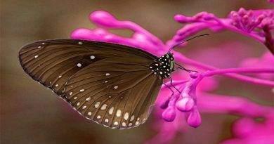 بعض المعلومات حول الفراشة الملكية