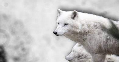 تعرف على المعلومات المدهشة حول الذئب الأبيض