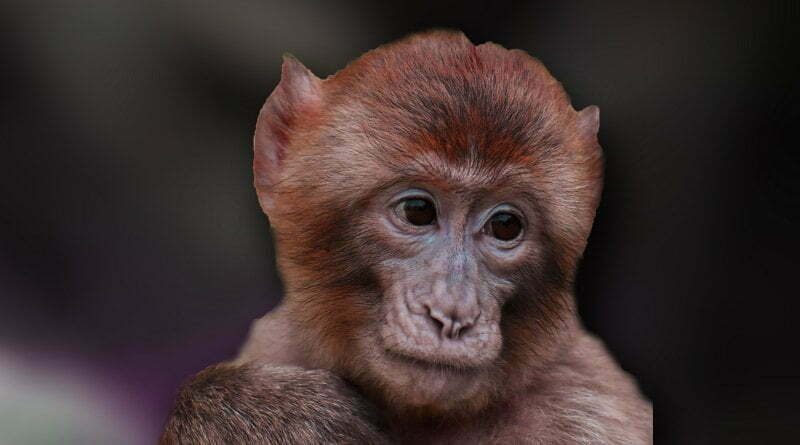 جميع المعلومات عن القرد