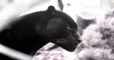 معلومات عن النمر الأسود