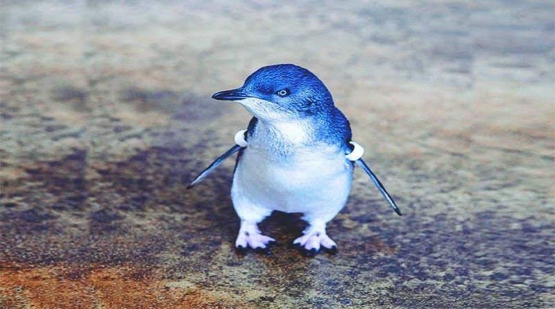 مميزات البطريق الأزرق