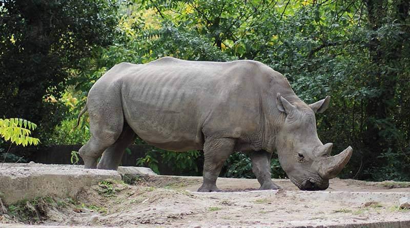 معلومات عن وحيد القرن