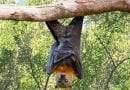 معلومات عن الخفاش