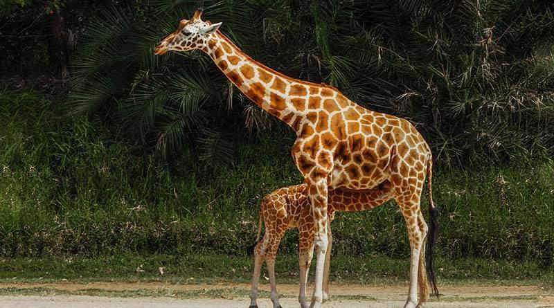 معلومات عن حيوان الزرافة