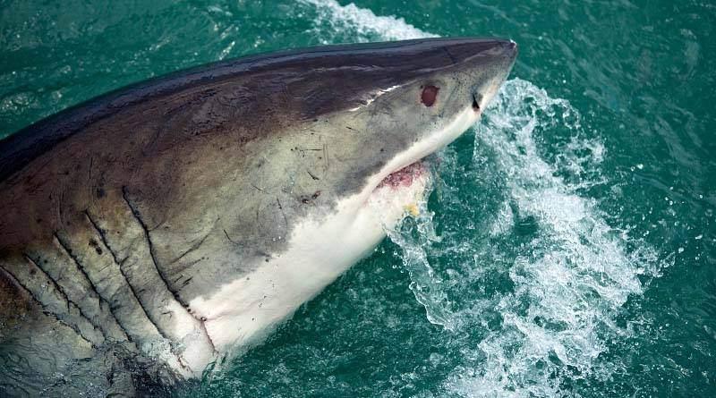 معلومات عن القرش