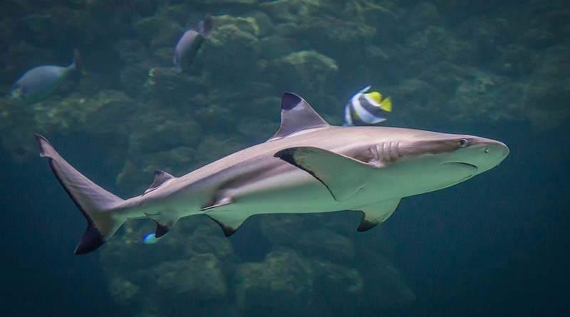 سمك القرش - معلومات وخصائص