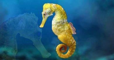 معلومات عن حصان البحر
