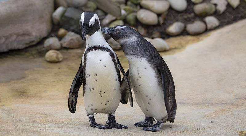 تعرف على البطريق الأفريقي
