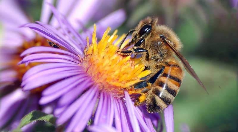 كم عدد ارجل النحلة ؟