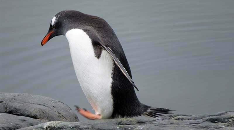 معلومات عن طائر البطريق