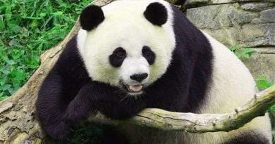 أين تعيش الباندا العملاقة ؟