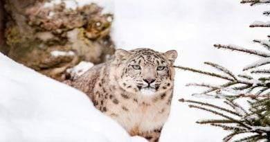 أين عيش نمر الثلوج؟