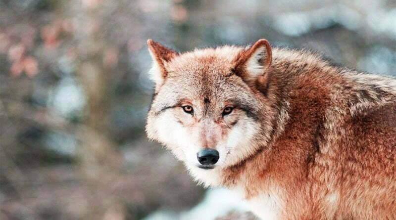 بماذا يمتاز ذئب الهيمالايا ؟