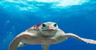 تعرف على السلحفاة البحرية ضخمة الرأس