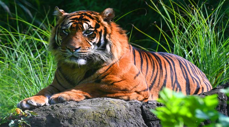 تعرف على النمر البنغالي