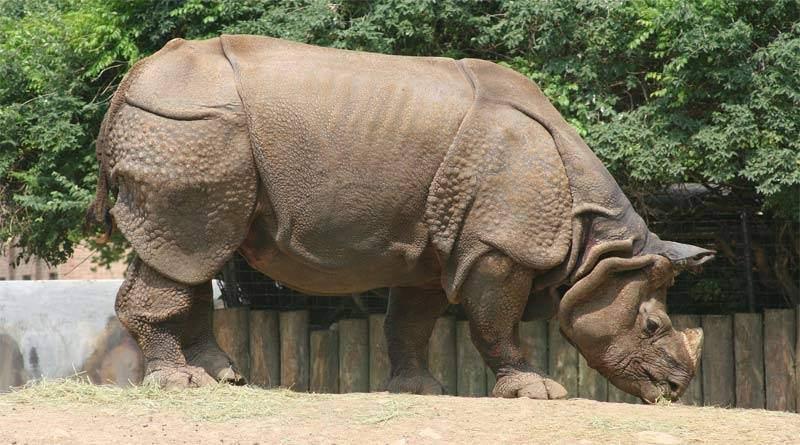 تعرف على وحيد القرن الهندي