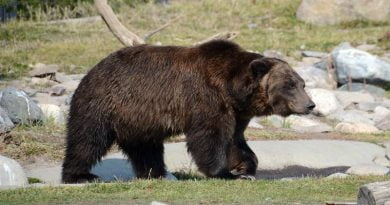 صفات الدب البني