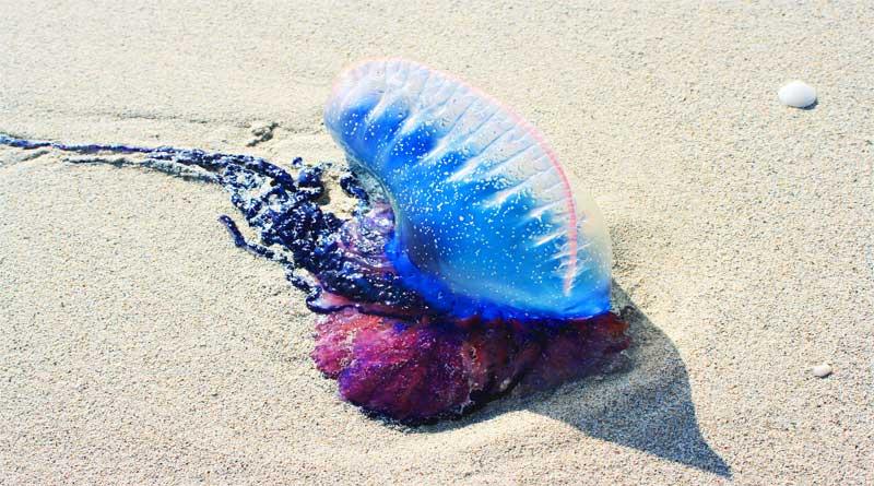 قنديل البحر البرتغالي