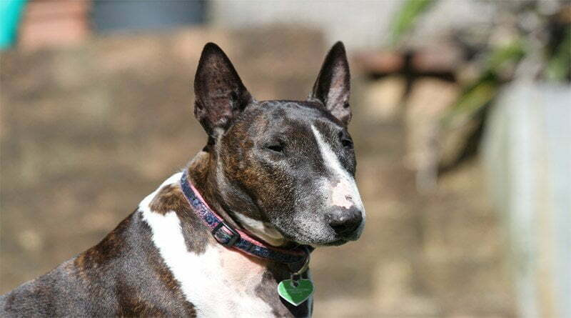 معلومات حول كلب بول ترير الإنجليزي