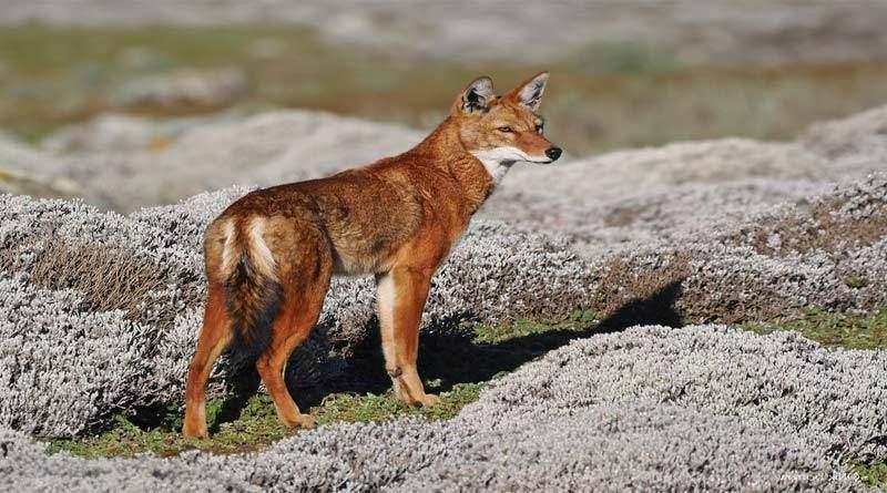 معلومات عن الذئب الحبشي