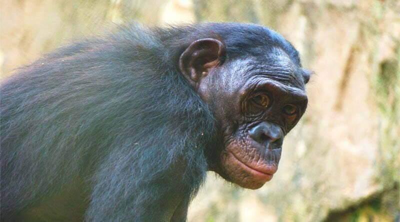معلومات عن الشمبانزي القزم