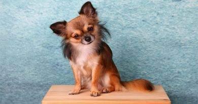 معلومات عن كلب شيواوا