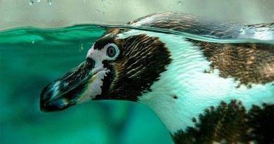 معلومات عن البطريق القزم