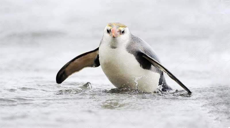 طائر البطريق الملكي