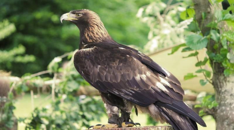 معلومات عامة عن طائر العقاب