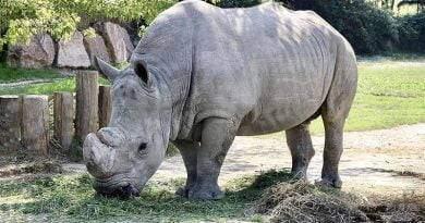 تعرف على وحيد القرن السومطري