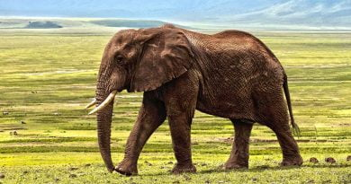 ماذا يأكل الفيل - معلومات عن الحيوانات