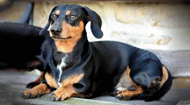 تعرف على الكلب داکسهوند (داشهند)