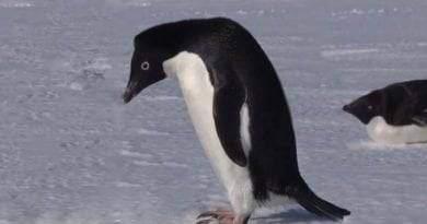 معلومات عن طائر البطريق آديلي
