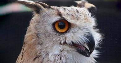معلومات عن طيور بوهة أوراسية