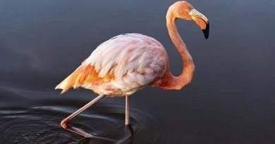 """صفات طيور نحام وردي """"فلامينغو"""""""