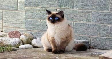 أروع 7 سلالات من القطط ذات الفراء الفاتن