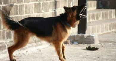 أفضل 7 سلالات من كلاب الحراسة