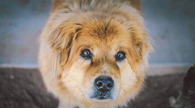 ألقِ نظرة على هذه السلالات من الكلاب ذات العيون الكبيرة!